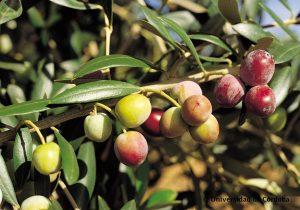 arbequina olijf
