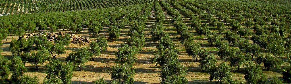 boomgaard olijven