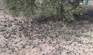olijven liggen op de grond