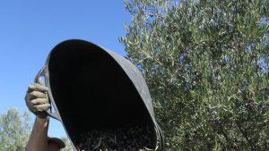 olijven in aanhangwagen kiepen