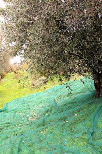 olijven opvangen met netten