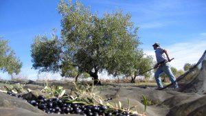 olijven uit boom slaan