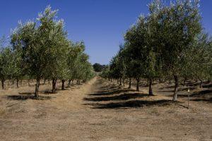 leccino olijfboomgaard