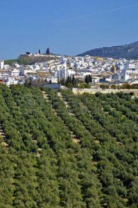 olijfboomgaard Andalusië
