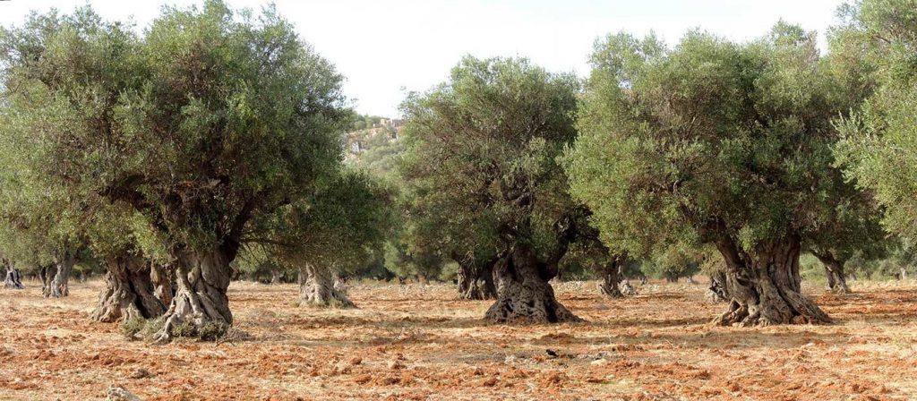 olijfboomgaard Sicilië