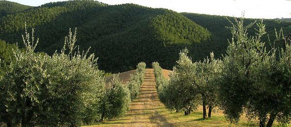 olijfboomgaard umbrië