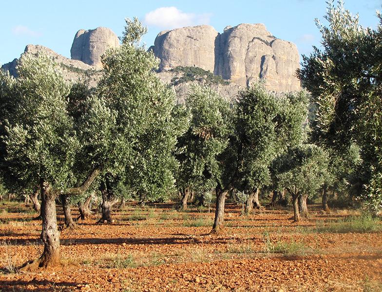 alanterres olijfboomgaard