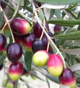 coratina olijven
