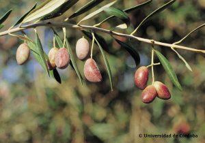 cornicabra olijven