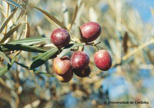 hojiblanca olijven