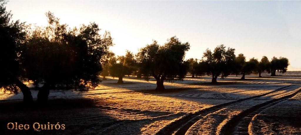 oleo quiros olijfboomgaard