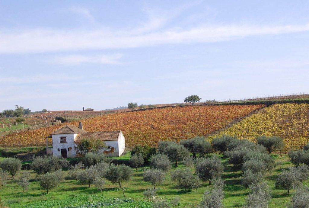 olijfboomgaard murca caom