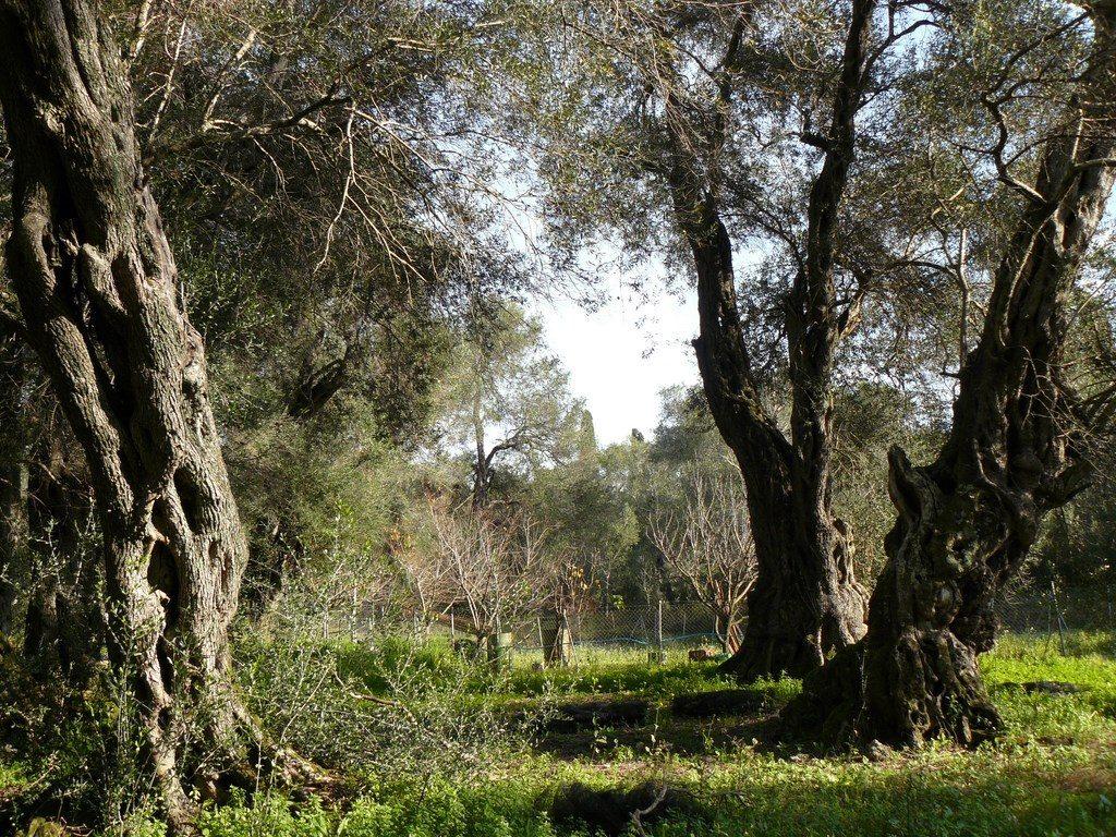 corfu olijfboomgaard