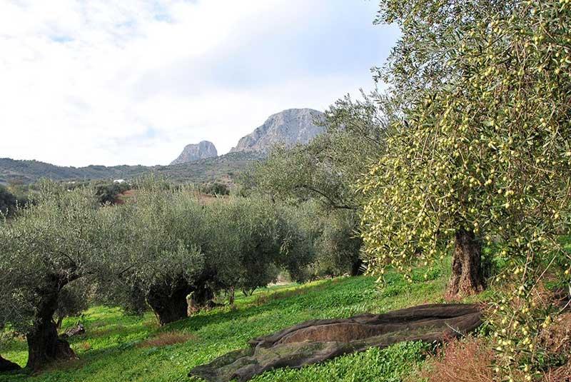 olijfboomgaard aceites modron