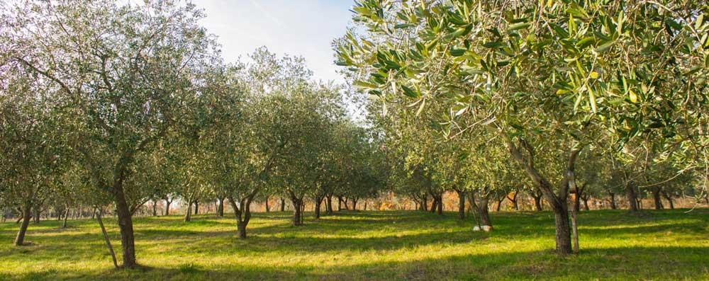 olijfboomgaard OPG Rakovac bilini