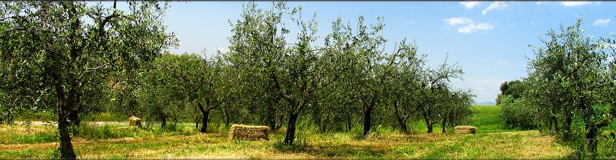 olijfboomgaard valencia