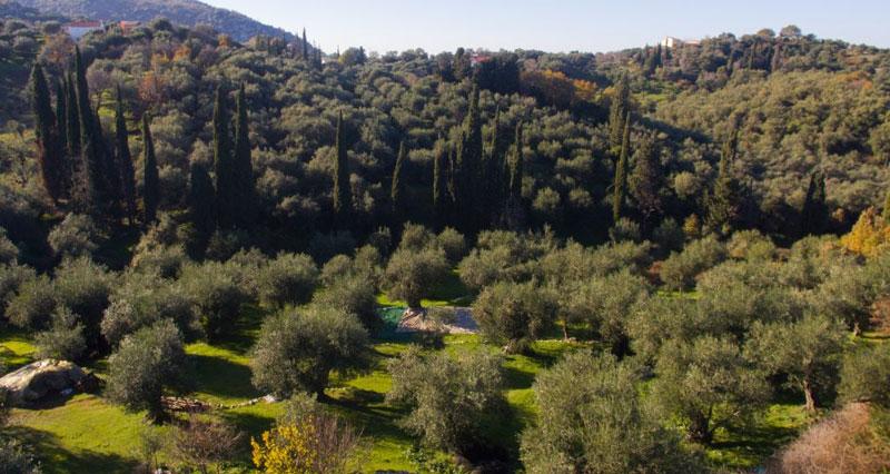 peritheia olijfboomgaard